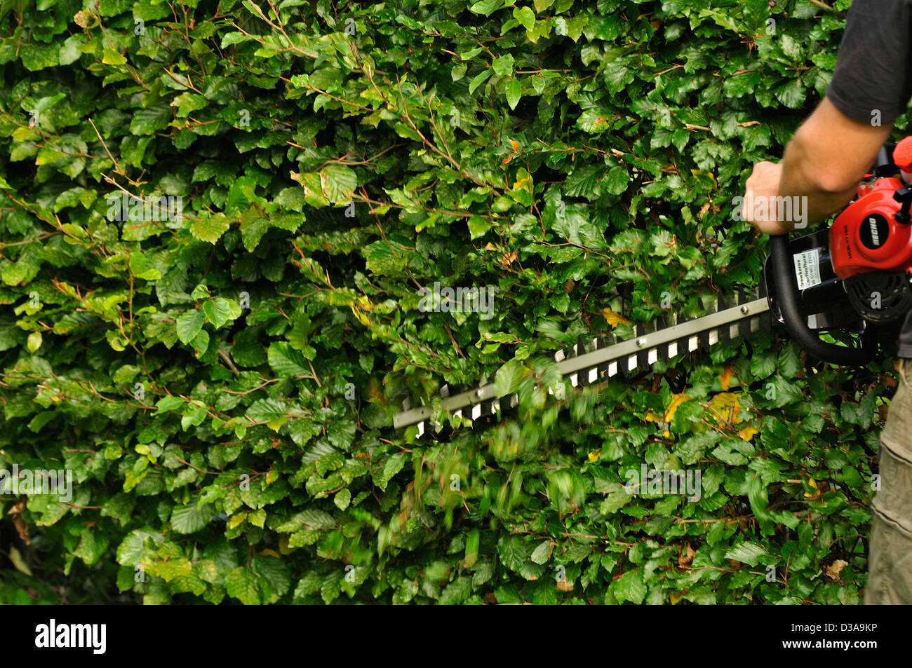 Uncategorized Hedge Trim hedge trimmer stock photos images alamy trimming a beech with uk image