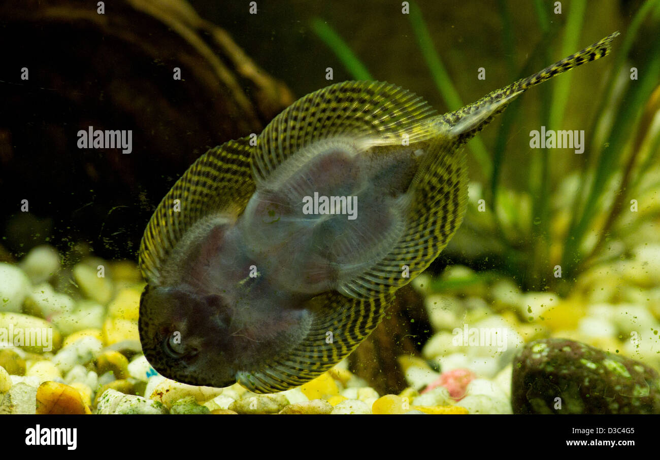 Image gallery plecostomus for Freshwater cleaner fish