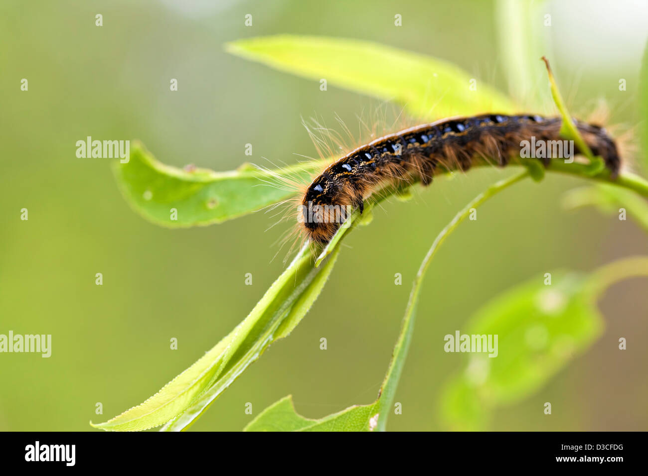 A macro shot of a Tent Caterpillar chewing on a leaf & A macro shot of a Tent Caterpillar chewing on a leaf Stock Photo ...