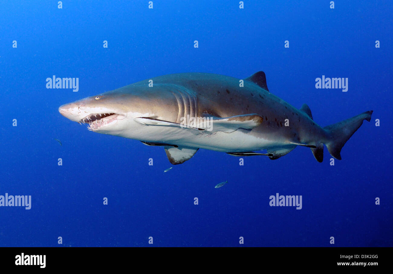 symbiotic relationship with sharks and remora