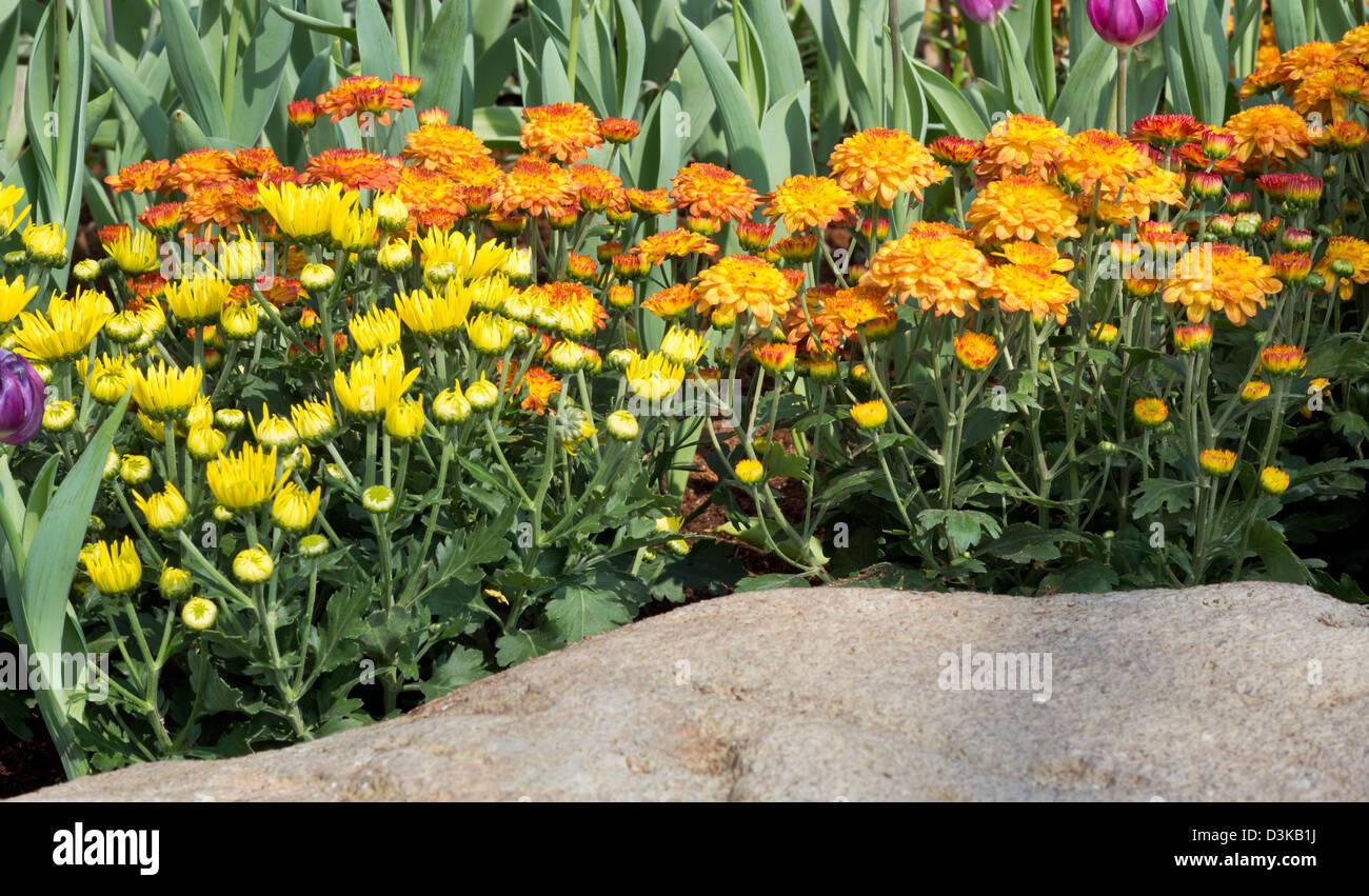 Orange And Yellow Chrysanthemum Flowers In The Garden Stock Photo