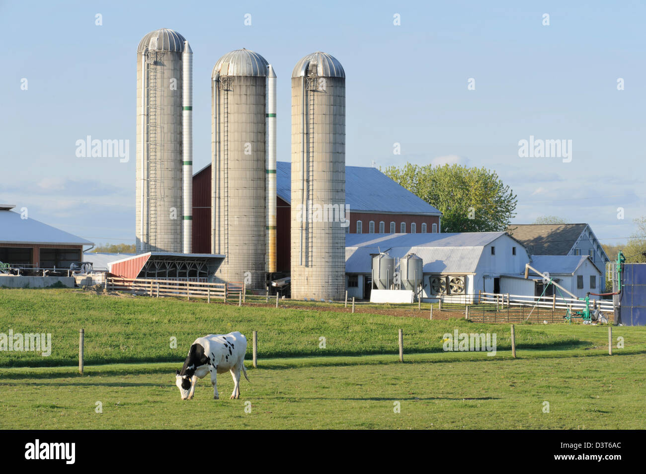 Cow on green pasture with red barn with grain silo royalty free stock - Dairy Farm With Holstein Cows In Pasture And Three Silos In Evening Light Pennsylvania Country