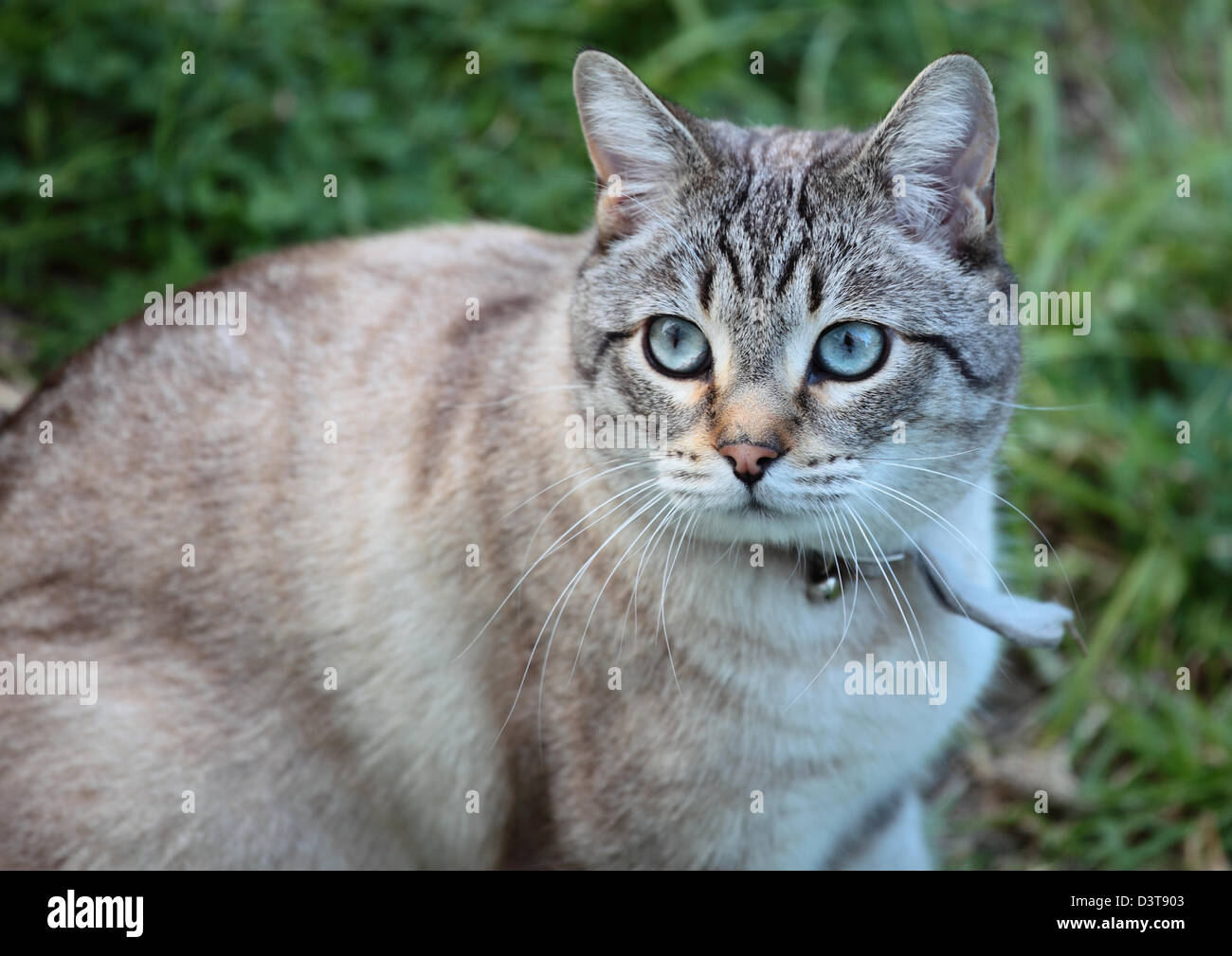 Grey and black tabby cat with pretty blue eyes Stock