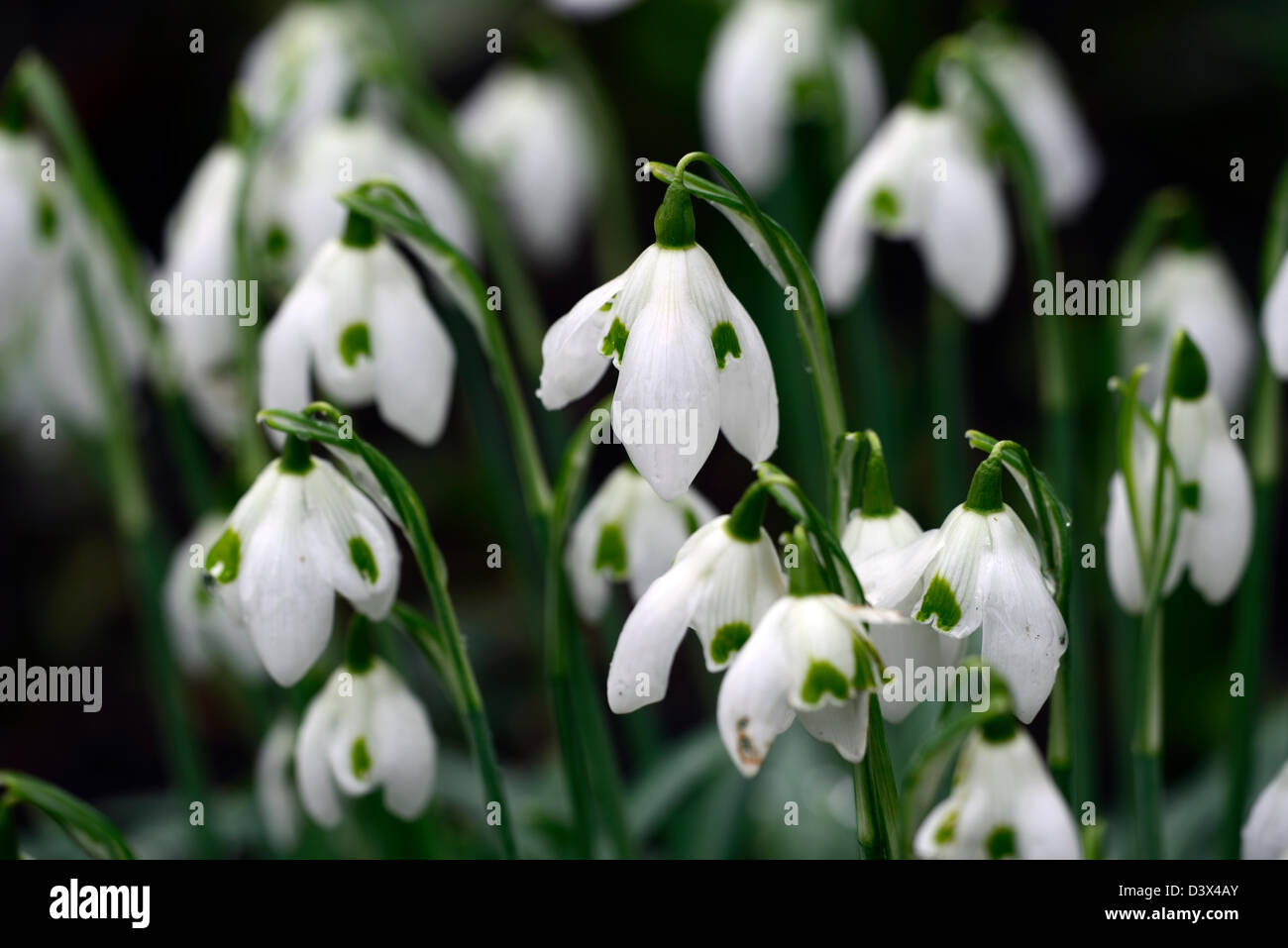 Flowers that bloom in the winter - Stock Photo Galanthus Cordelia Snowdrop Snowdrops Winter Closeup Plant Portraits White Green Markings Flowers Blooms Bloom Flower Spring
