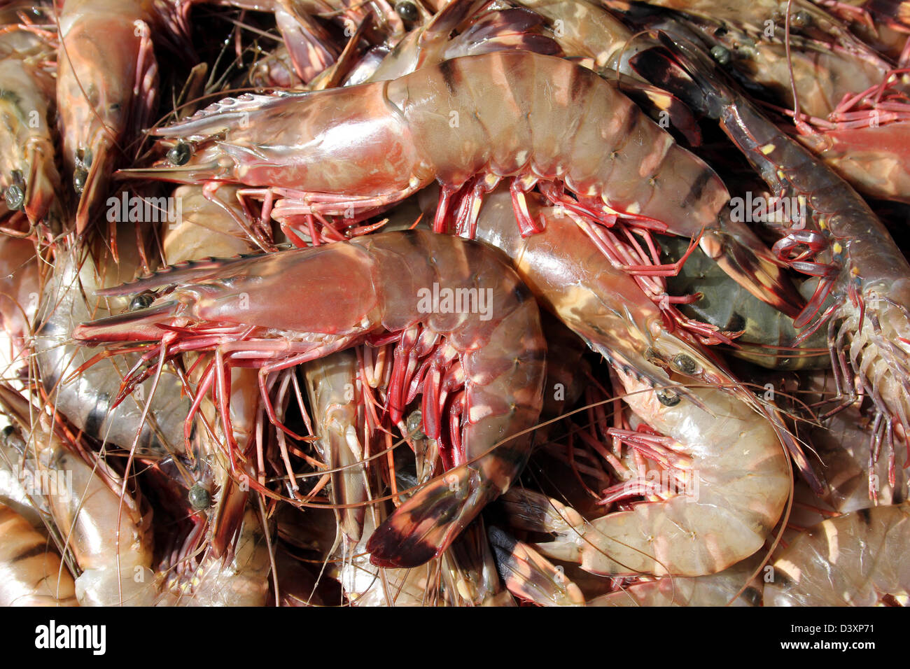 Image gallery large prawns for Goliath tiger fish for sale