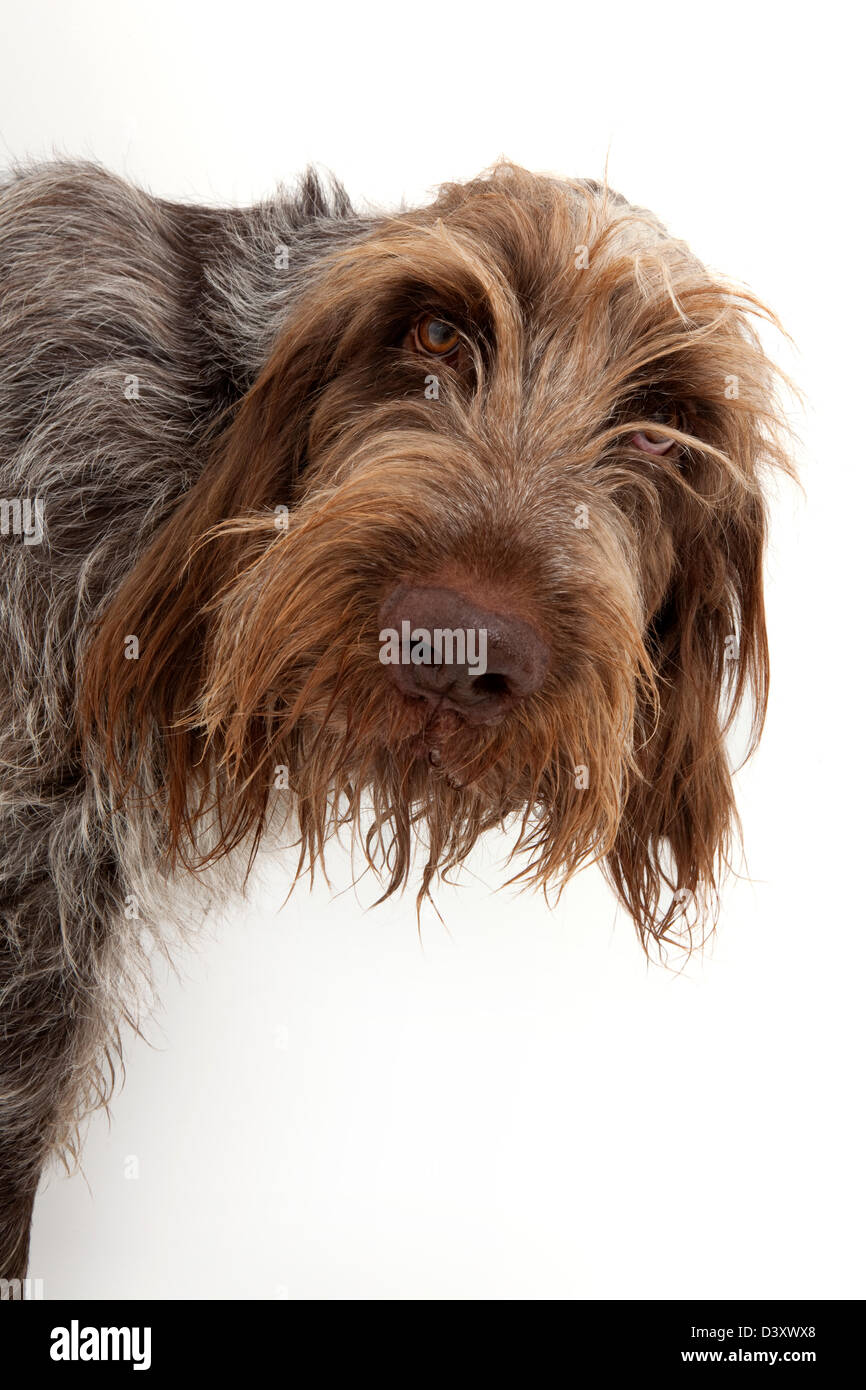 Image of italian spinone brown roan young puppy blue sitting cute - Italian Spinone Pedigree Dog Peering Around Wall Stock Image