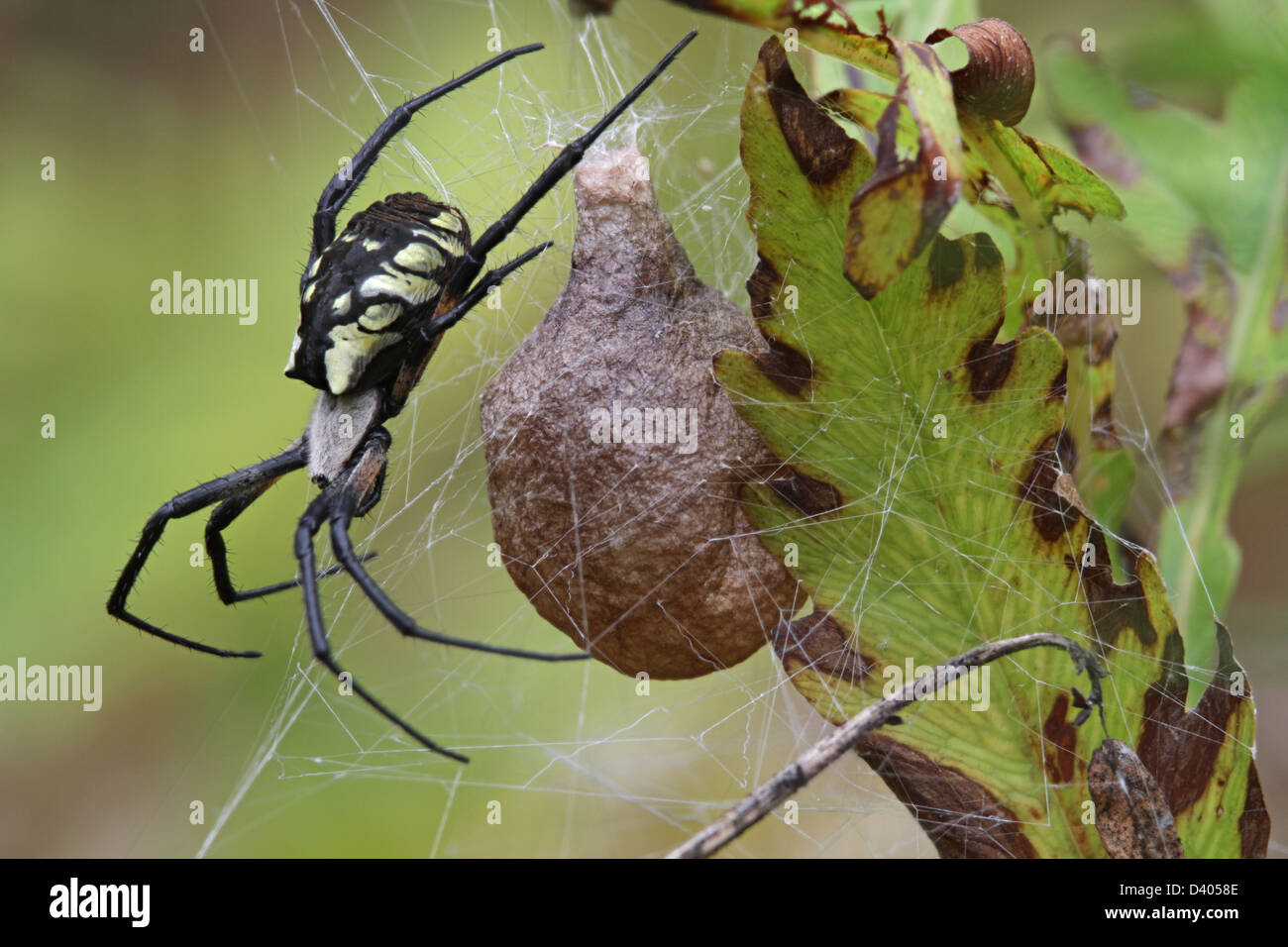 A Black And Yellow Garden Spider Argiope Aurantia With An Egg Case Stock Photo 54093886 Alamy