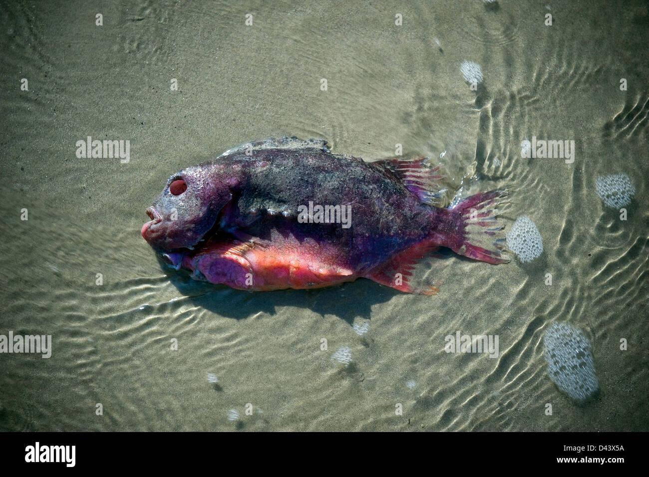Strange fish washed up on Worthing beach, West Sussex, UK ...