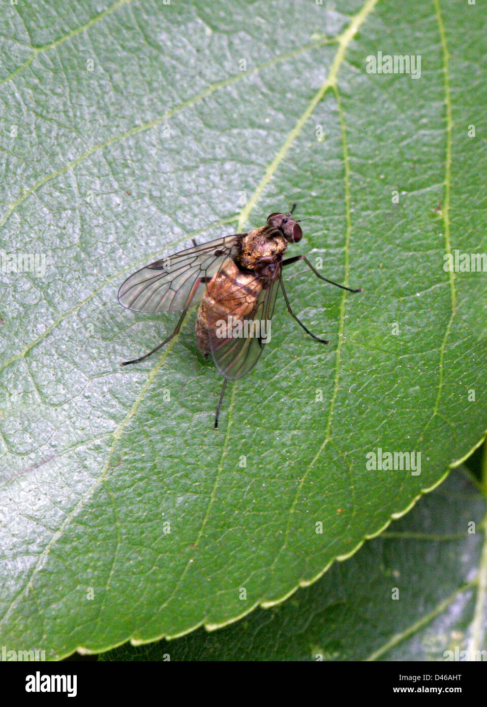 Rhagionidae