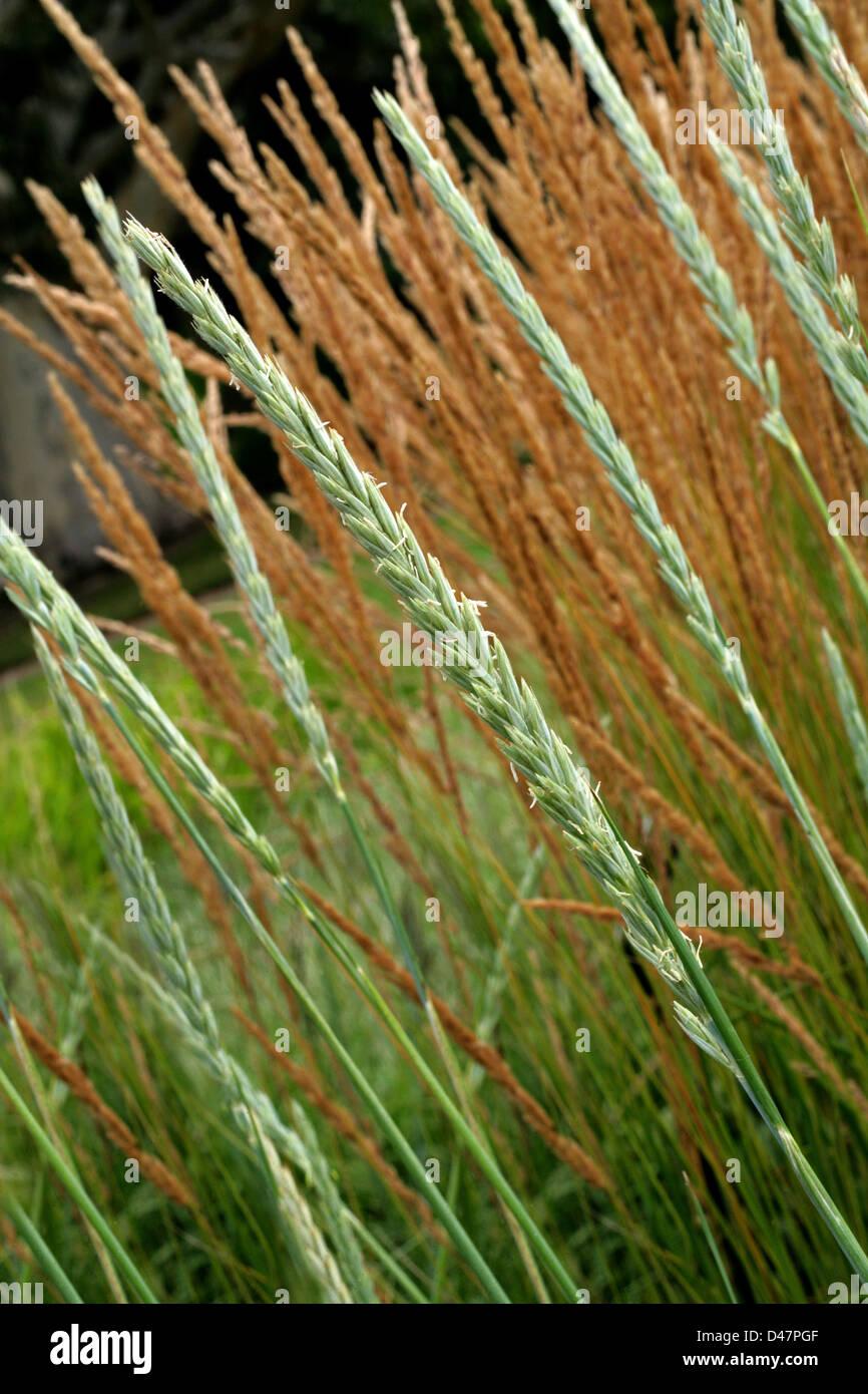 Blue dune lyme grass - Sea Lyme Grass Or Lyme Grass Leymus Arenarius Poaceae Native To Atlantic