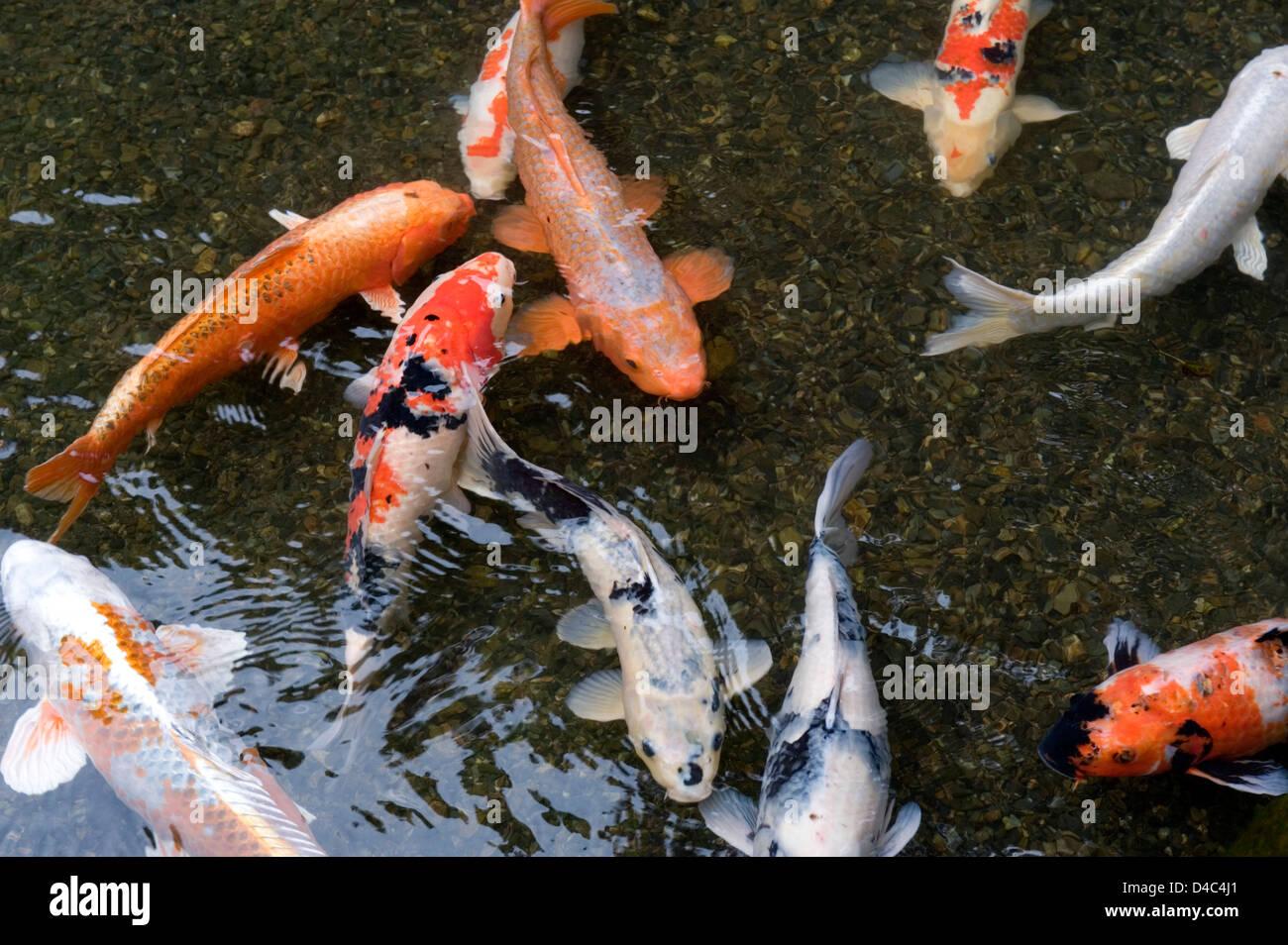 Orange white and multi colored koi carp fish swimming in for All white koi