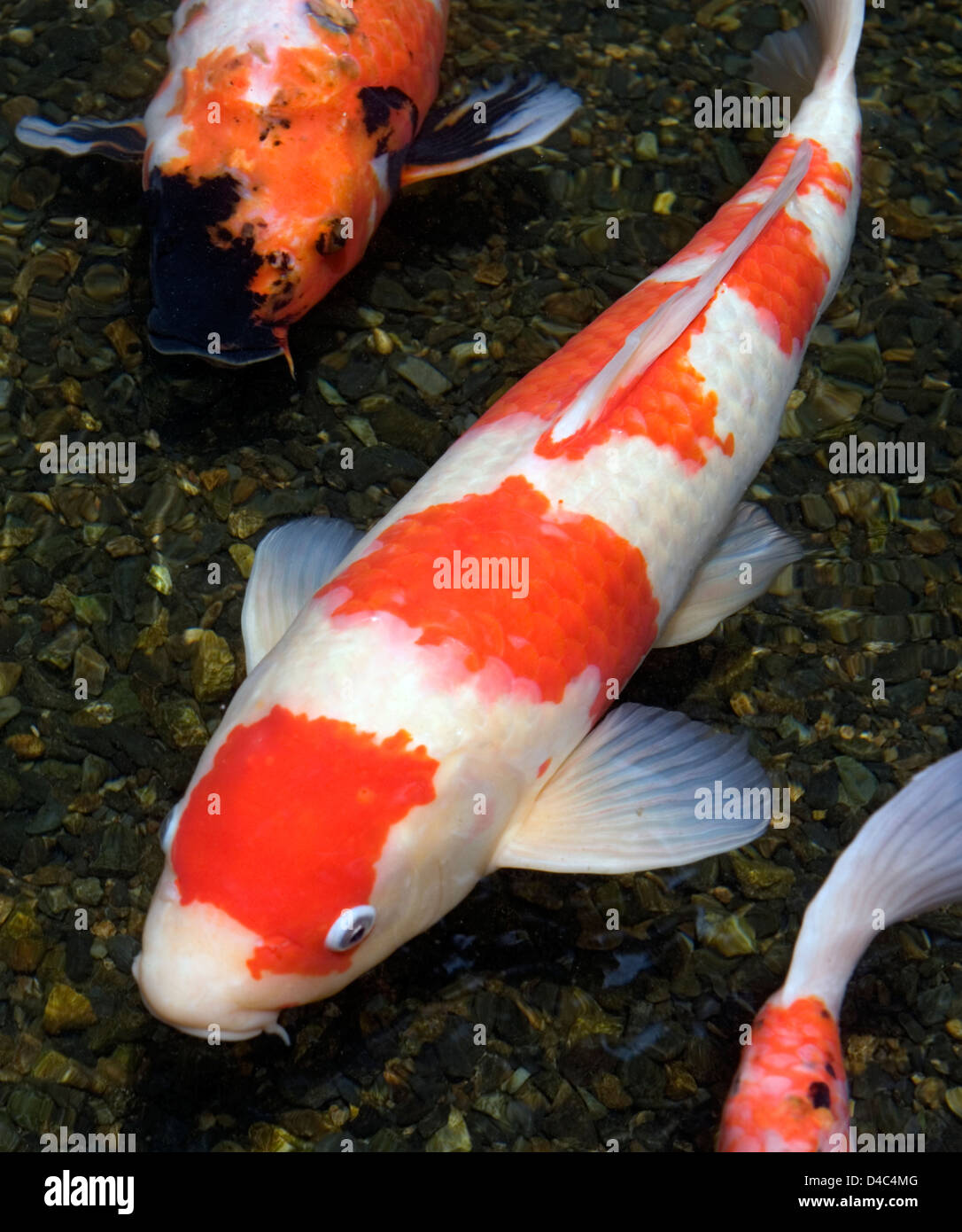 Orange white and multi colored koi carp fish swimming in for Japanese koi