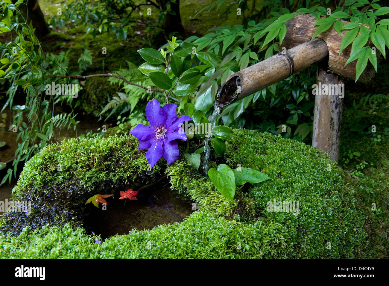 Water flowing from bamboo spout into tsukubai stone water - Japanese garden water basin ...