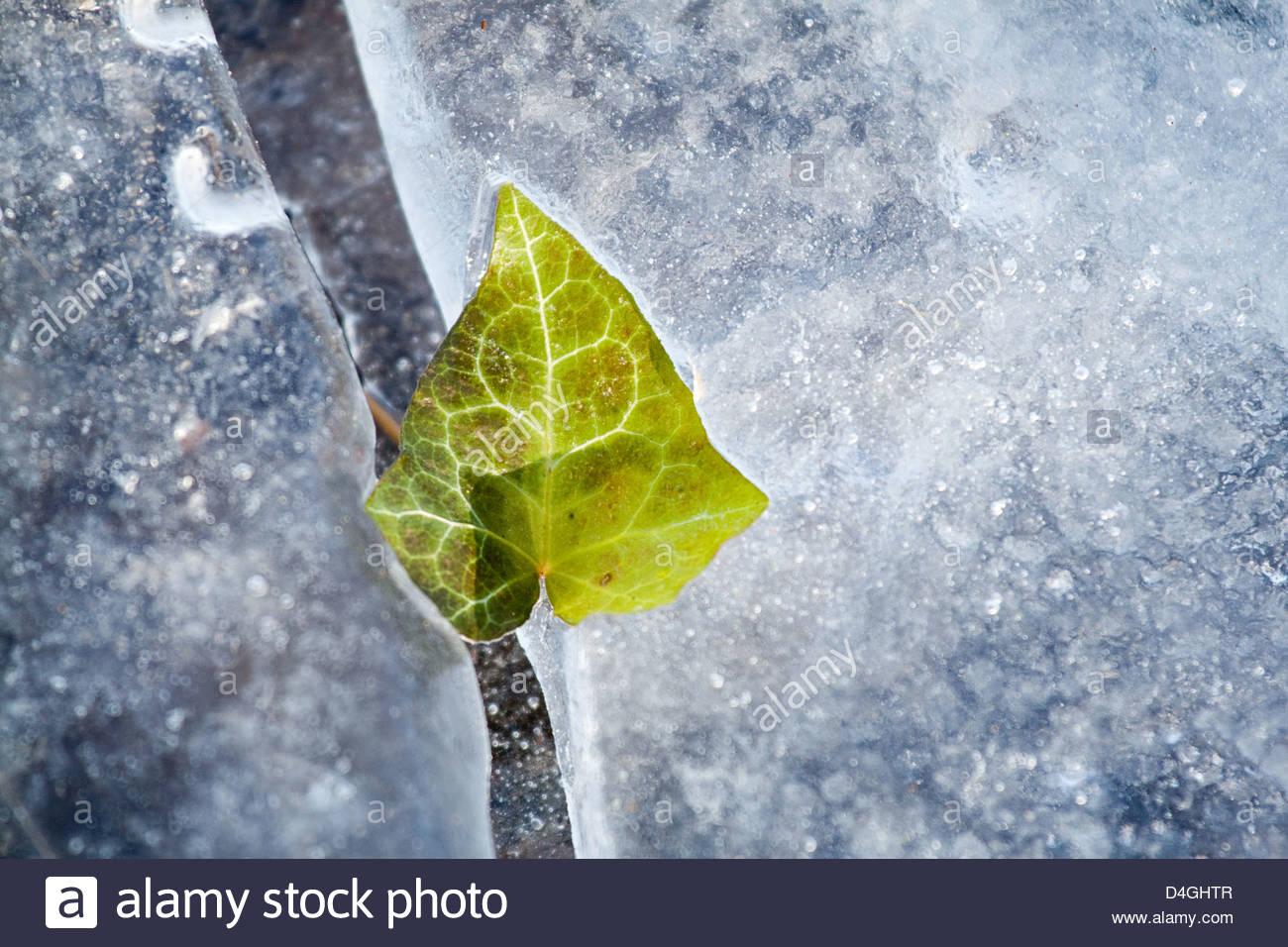 Potsdam germany an ivy leaf frozen in ice stock photo royalty potsdam germany an ivy leaf frozen in ice biocorpaavc Gallery
