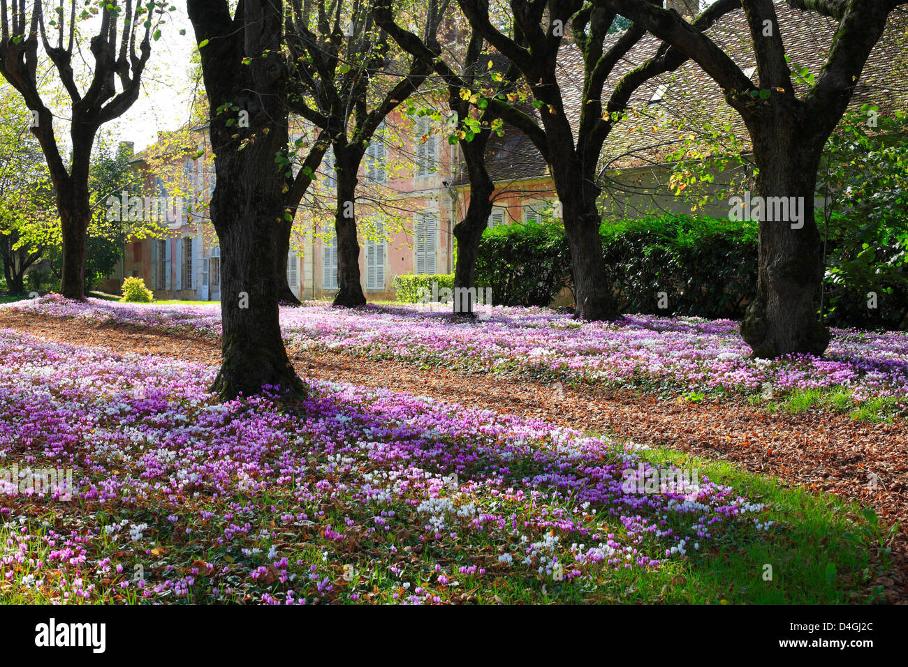 Cyclamen hederifolium Carpet of Flowers in a French Garden Stock
