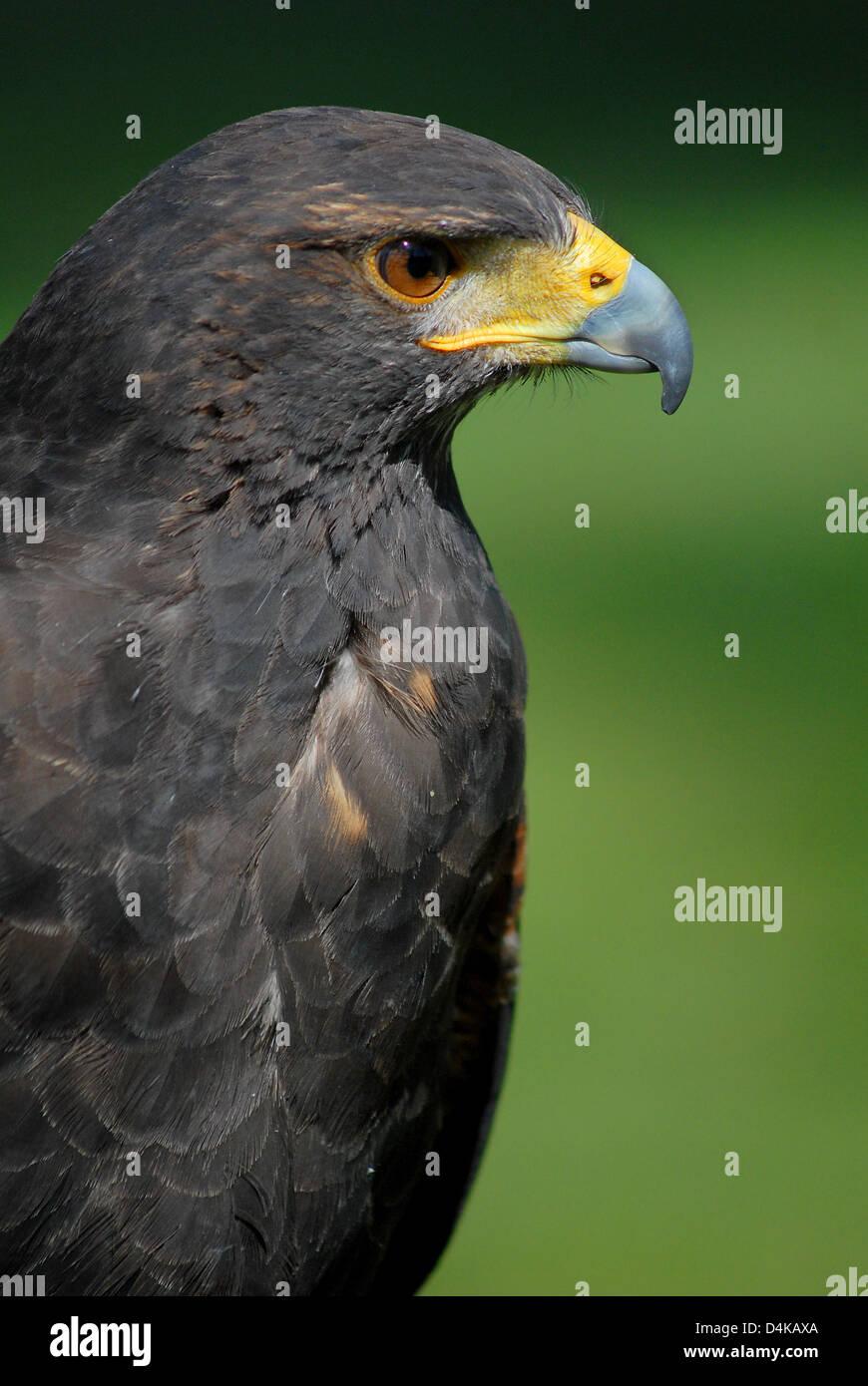 alte eagle version