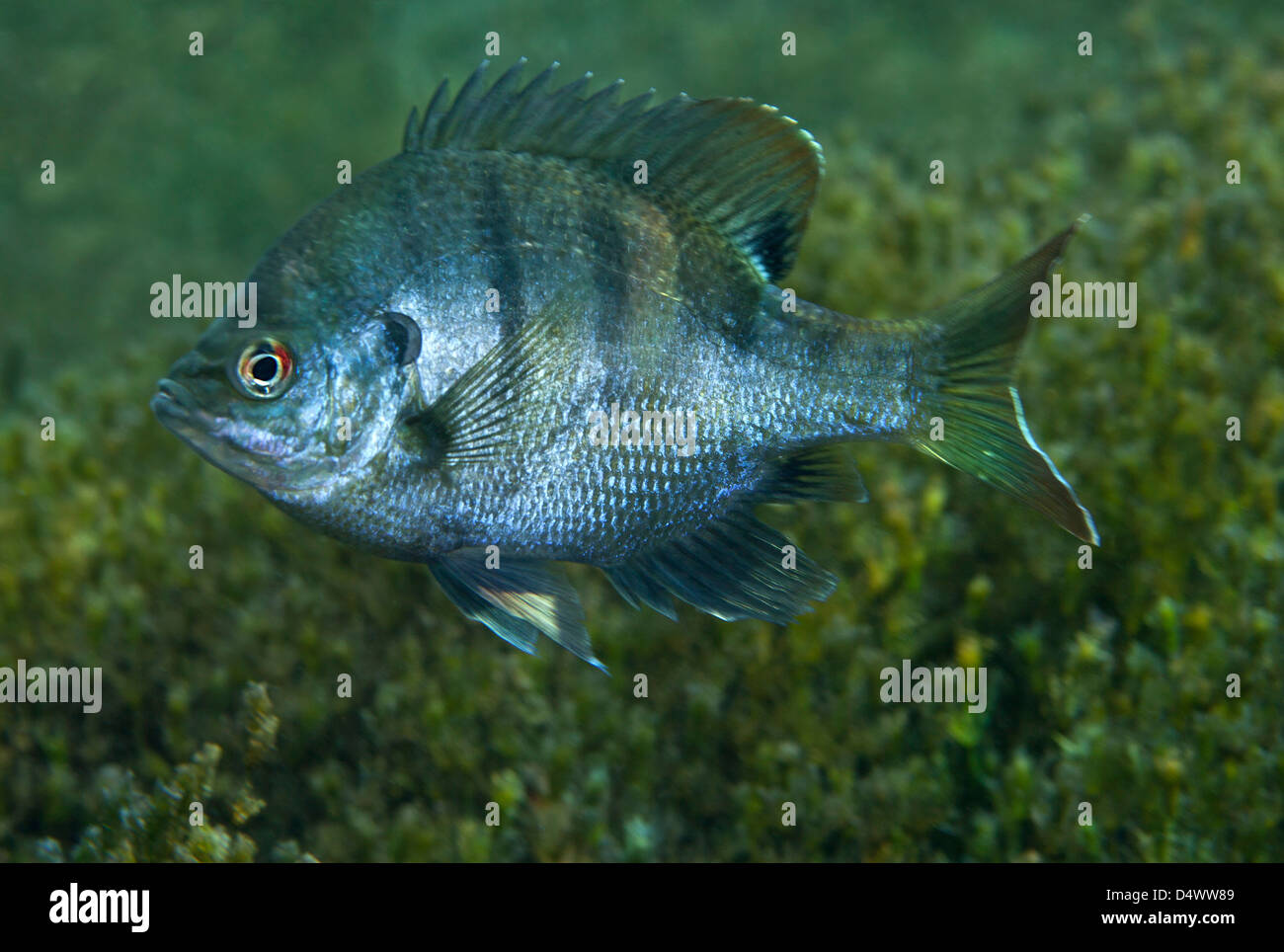 Freshwater fish of florida - A Bluegill Freshwater Fish In Morrison Springs Florida