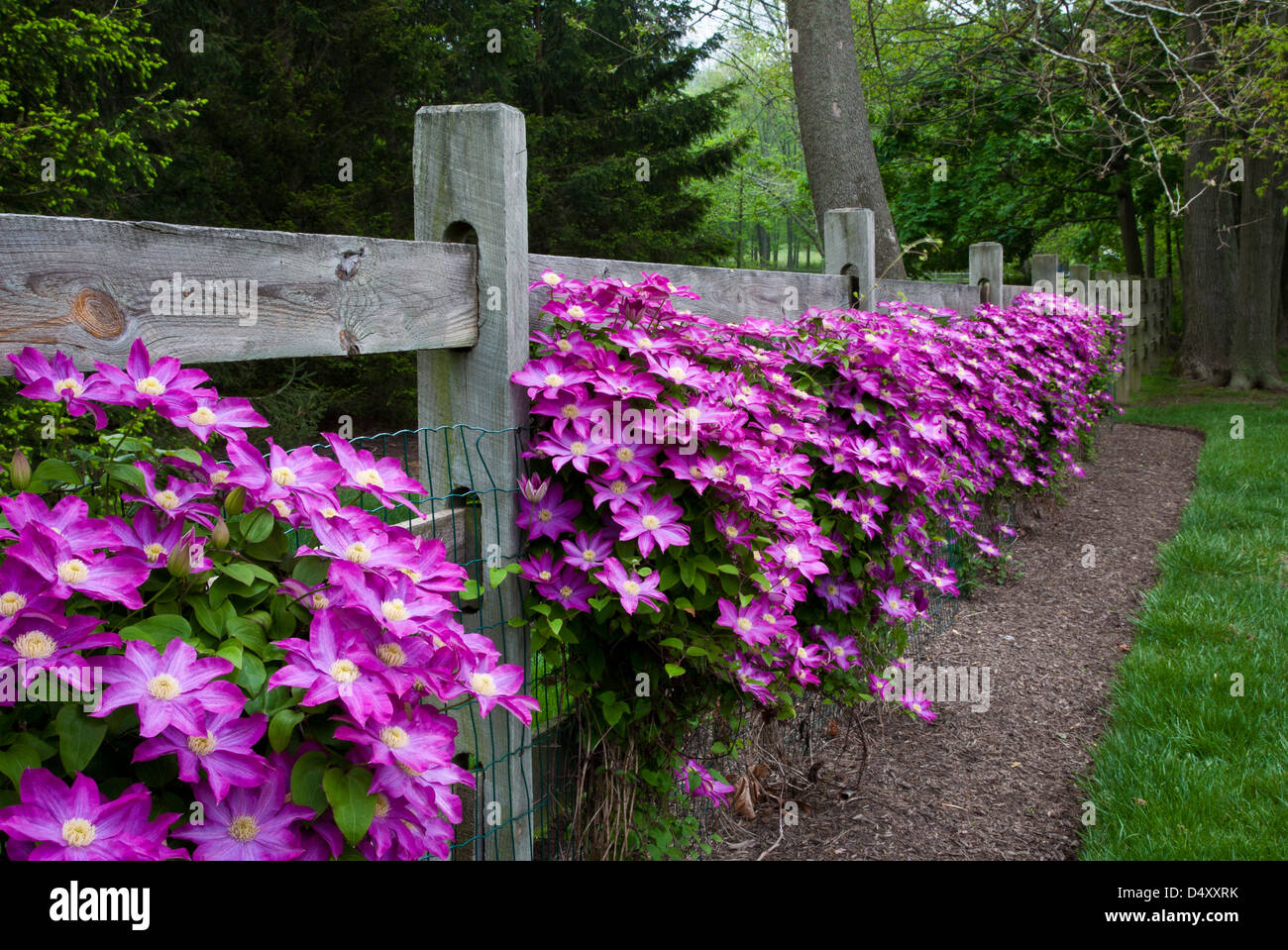 colorful close up row of pink clematis vines climing on a wooden fence in a backyard new jersey usa