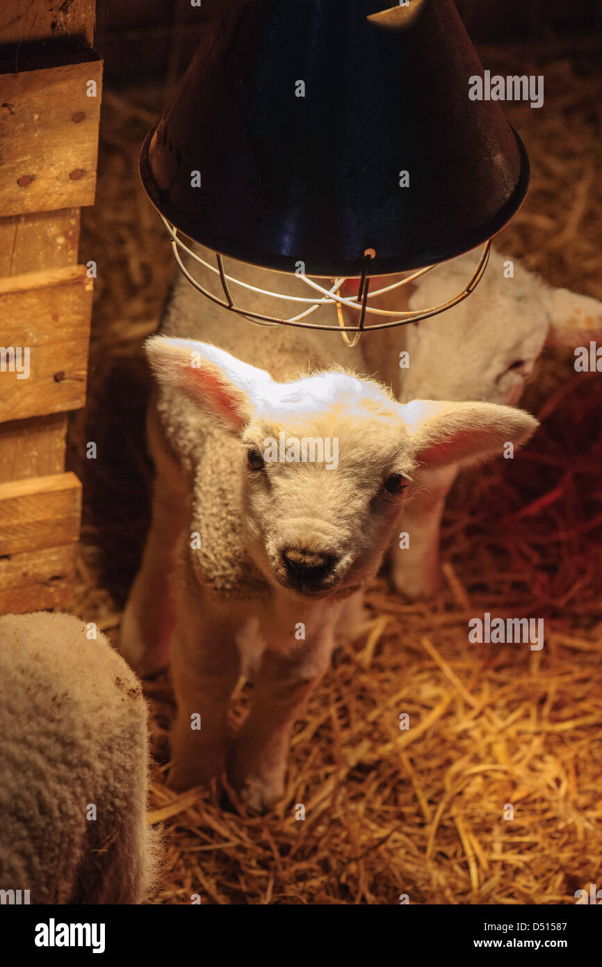 Newborn lambs under heat lamp in a barn in Northumberland Stock ...
