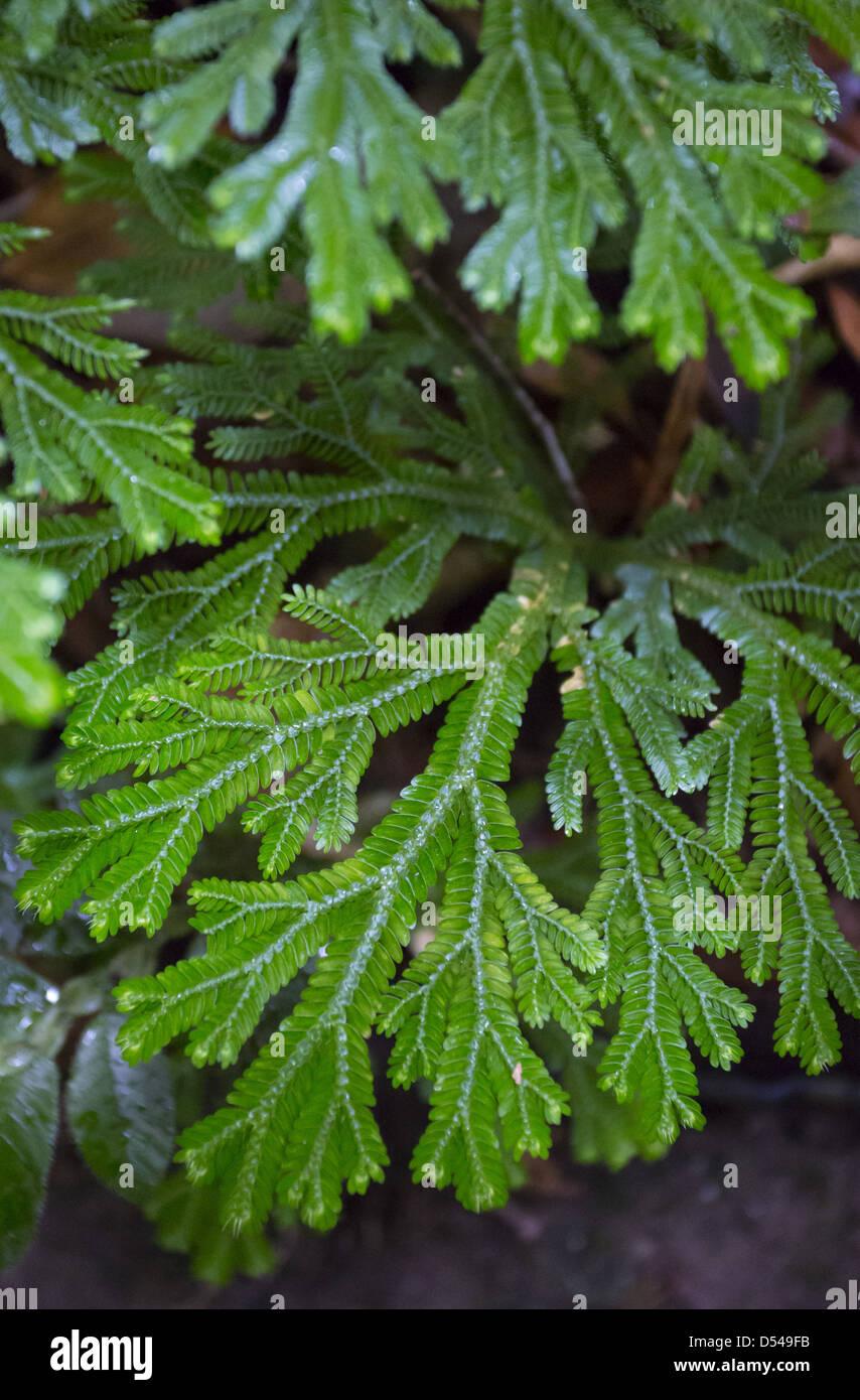 Learn About Spike Moss Plants – Can You Grow Spike Moss Fern