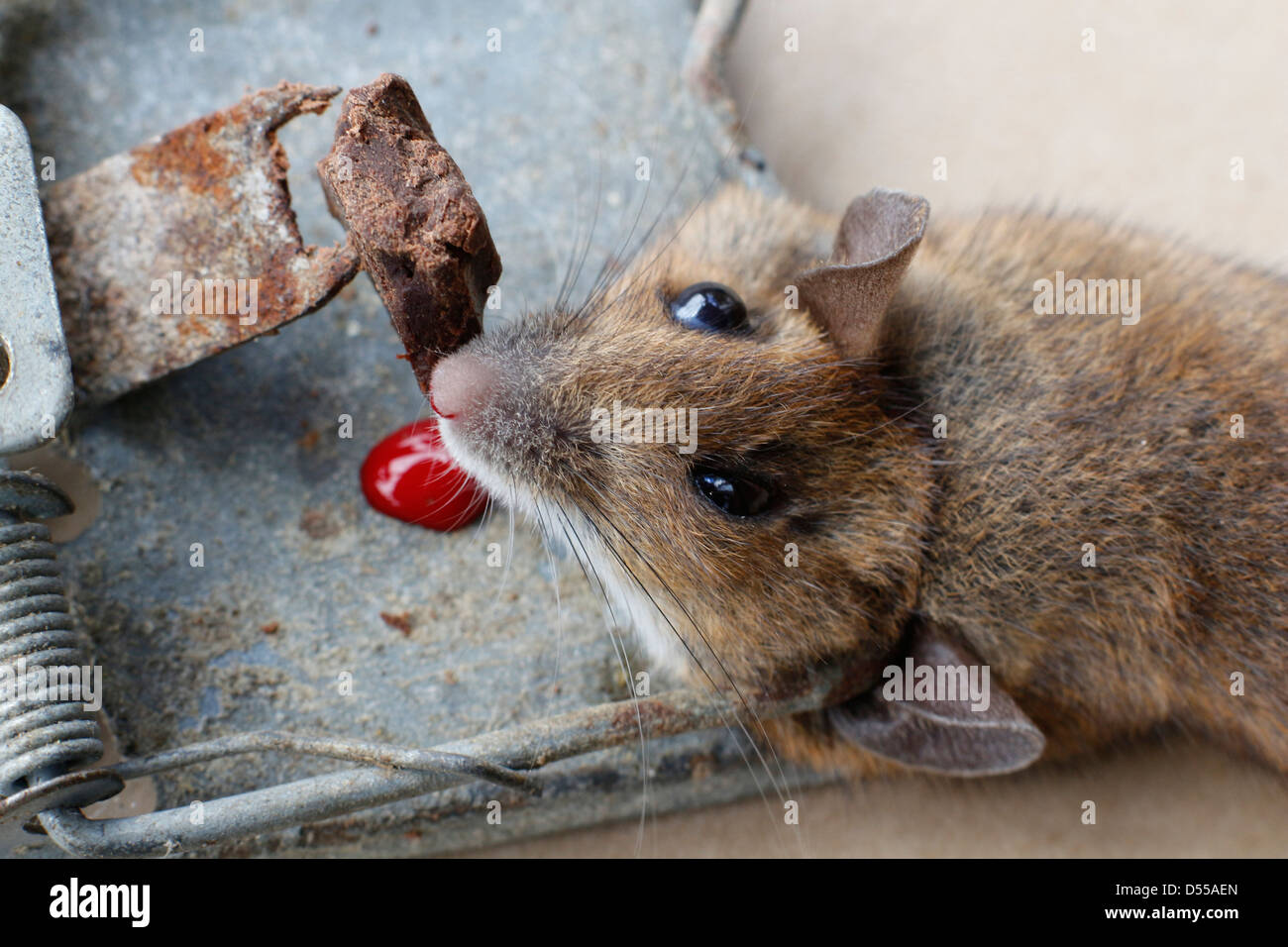 house mouse trapped and killed in mousetrap 131045mouse