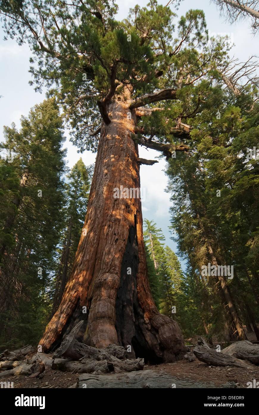 California Driving Record >> Sequoia sempervirens, Sequoia tree Stock Photo, Royalty ...