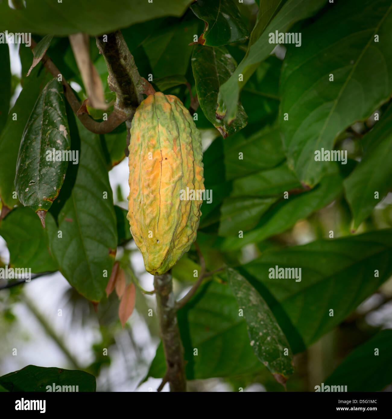 Cocoa tree (chocolate tree) with yellow pod, Bali island ...