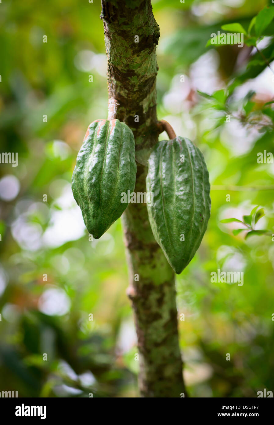 Cocoa tree (chocolate tree) with two green pods, Bali island Stock ...