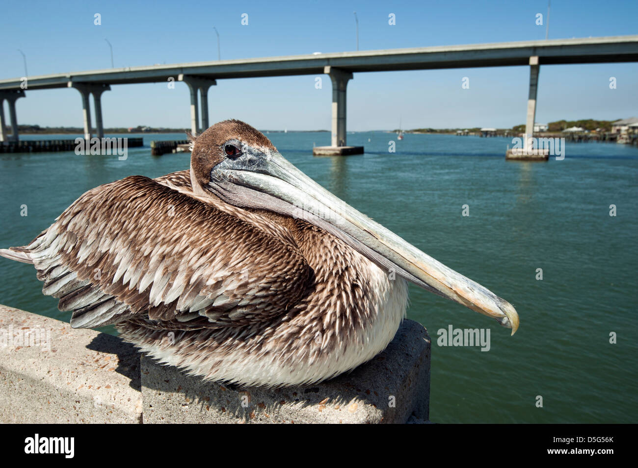 A brown pelican on a fishing pier in st augustine for St augustine fishing pier