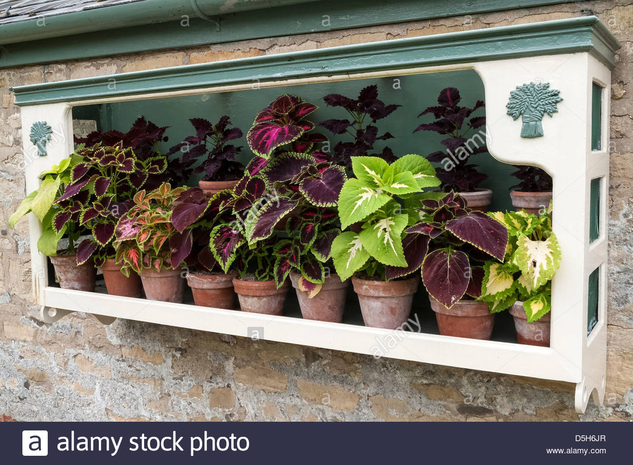 Solenostemon Coleus plants on display in plant theatre Easton