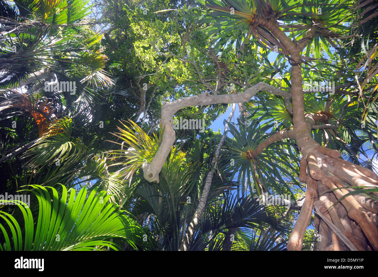 Coastal forest canopy composed of pandanus palms and other endemic tree species Lord Howe Island Australia & Coastal forest canopy composed of pandanus palms and other ...