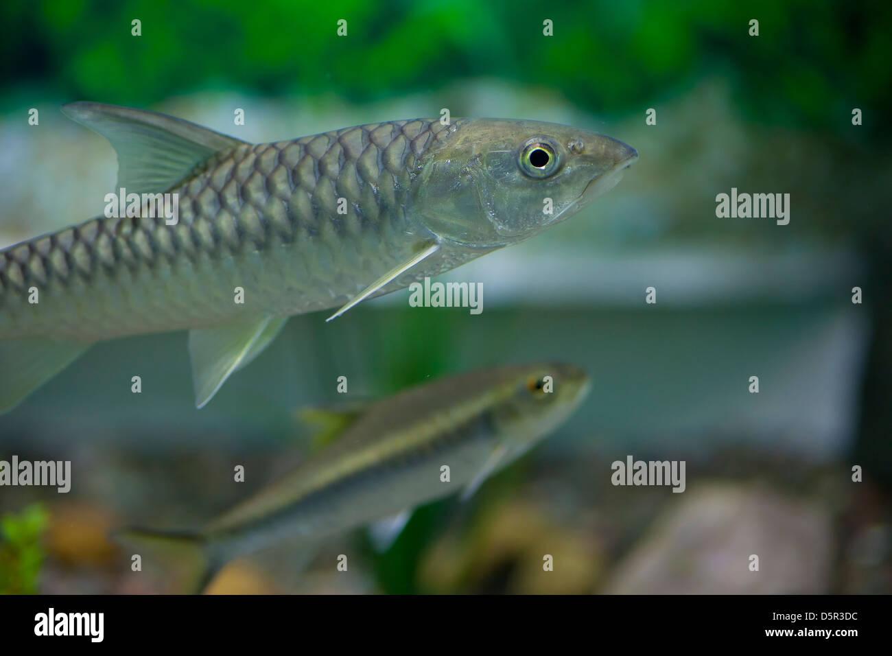 Fish in tank swimming - Aquarium Fish Tank Fish Swimming Animal Animal And Pets Fresh Water Fish Nature Tropical Climate India