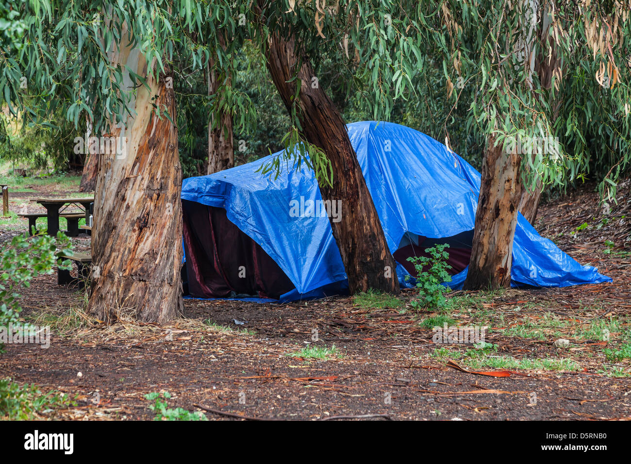 Blue tarp covering tent at Scorpion Ranch c&ground after a heavy spring rain Santa Cruz Island Channel Islands National Park & Blue tarp covering tent at Scorpion Ranch campground after a heavy ...