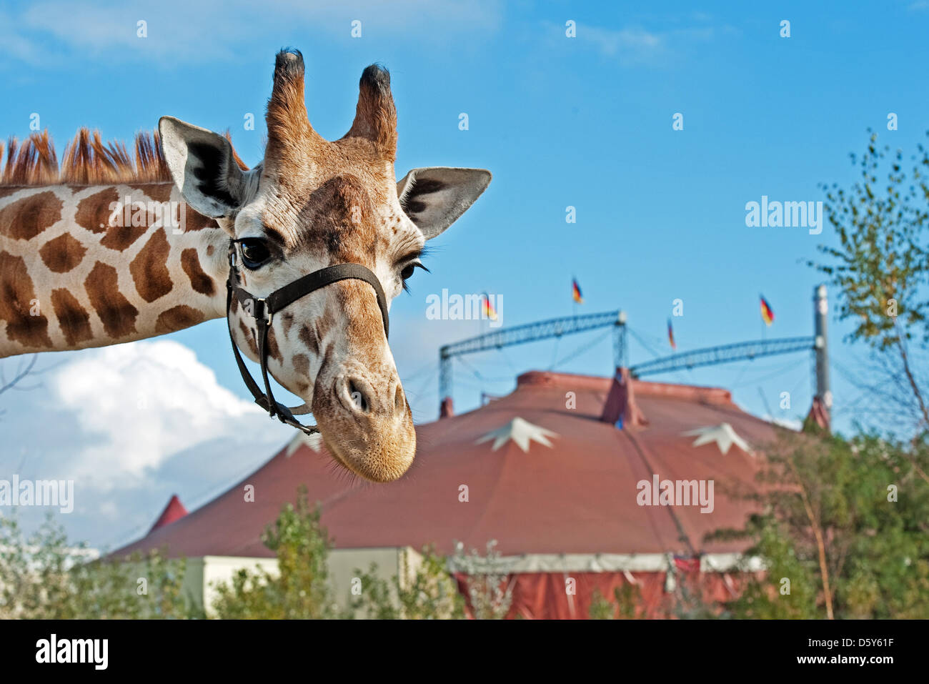 A giraffe of the Berolina Circus stands in front of the circus tent in Berlin Germany 11 October 2012. Photo Robert Schlesinger & A giraffe of the Berolina Circus stands in front of the circus ...