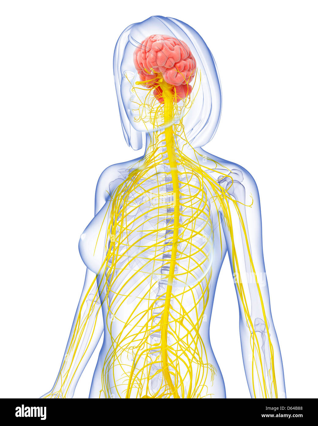 Female nervous system artwork stock photo royalty free image female nervous system artwork ccuart Choice Image