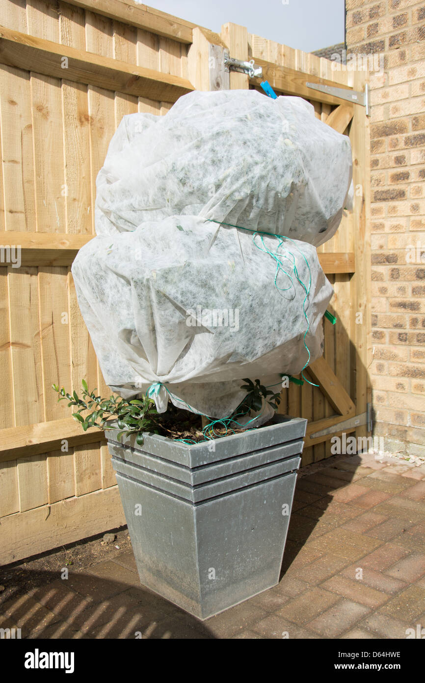 A potted olive tree wrapped in horticultural fleece to for Olive trees in pots winter care