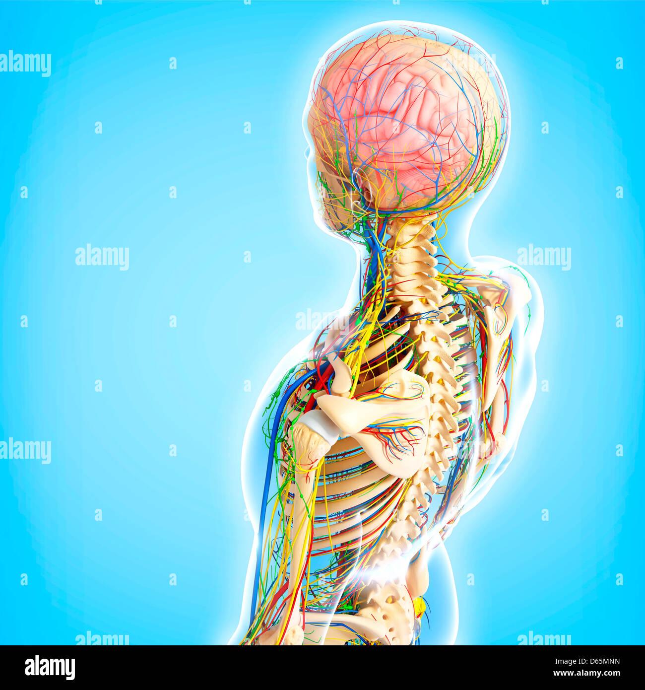 Upper Body Anatomy Artwork Stock Photo Royalty Free Image