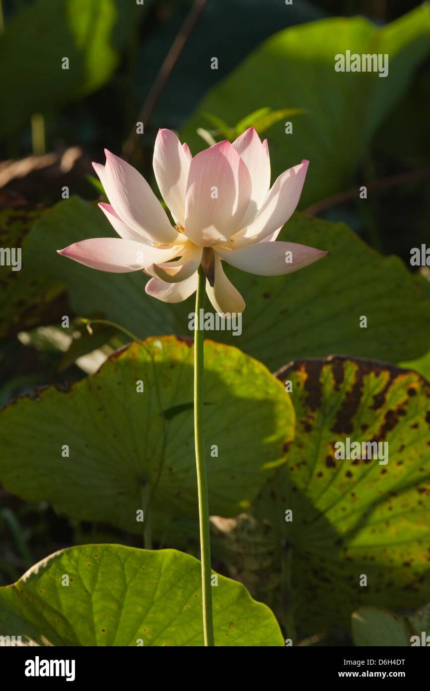 Men who eat lotus flowers choice image flower wallpaper hd eating lotus flowers gallery flower decoration ideas eating lotus flowers gallery flower decoration ideas eating lotus mightylinksfo