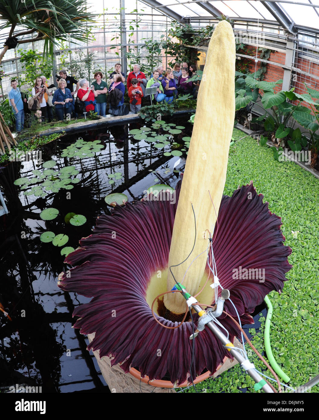 A titan arum or corpse flower blossoms at the botanic gardens in St