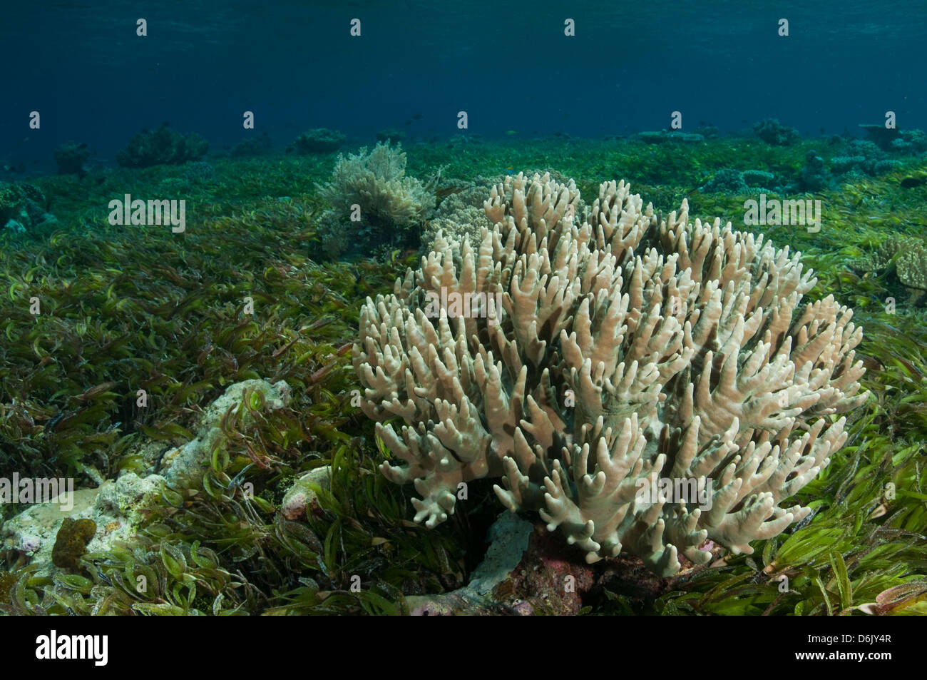 Seagrass beds animals - Leather Coral On Seagrass Bed Of Reef Flat Sulawesi Indonesia