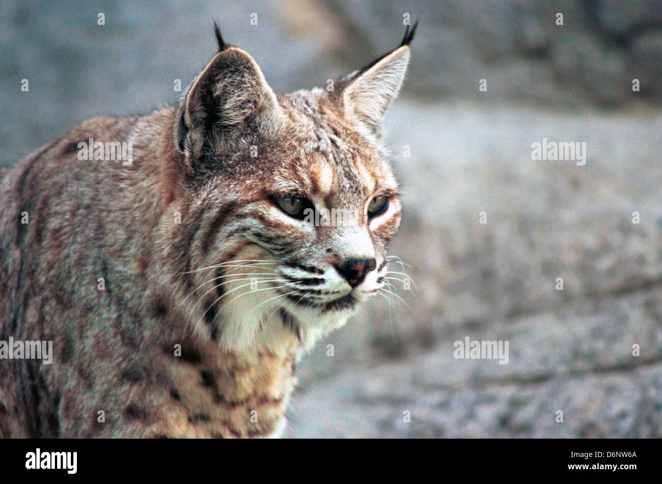 Mews and Nips: Alaskan Lynx Family Returns to Play in the ... |Lynx Cat Family