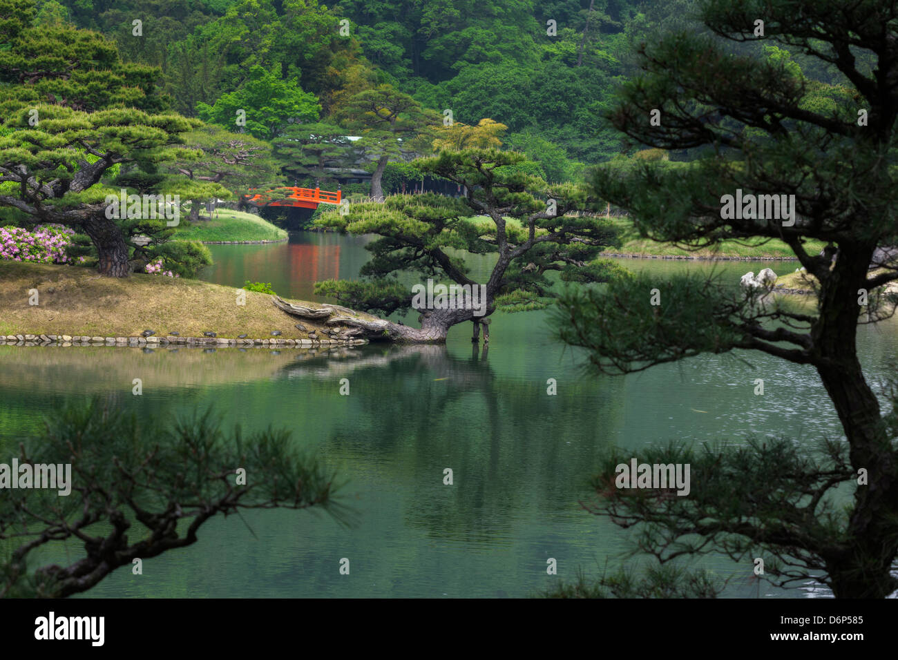 Japanese garden with a pond red bridge ornamental pine trees and
