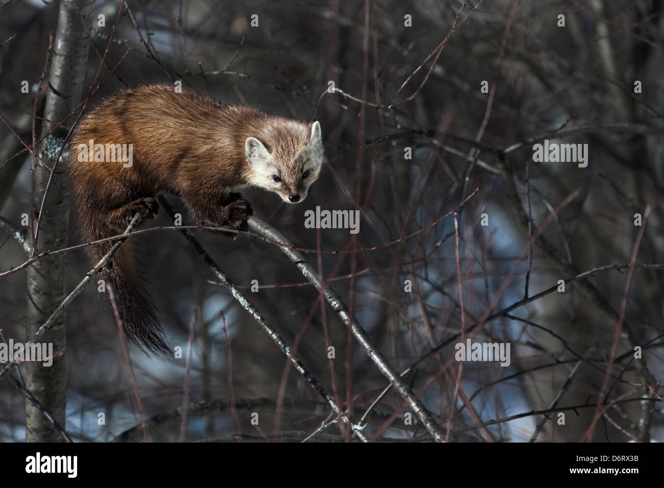 a pine martin hunting in the boreal forest stock photo royalty