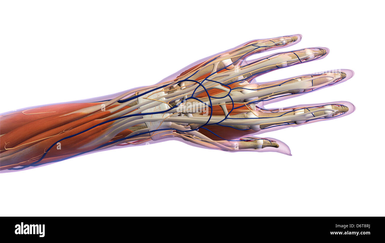 X ray hand anatomy