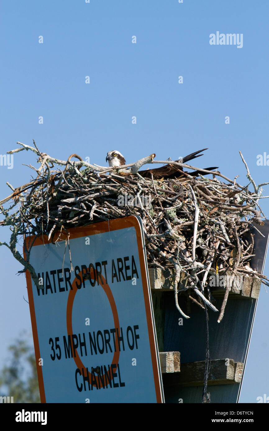 osprey nest stock photos u0026 osprey nest stock images alamy