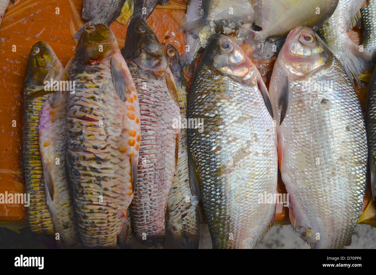Freshwater fish amazon - Freshwater Fish On Sale On A Market In Iquitos Peruvian Amazon