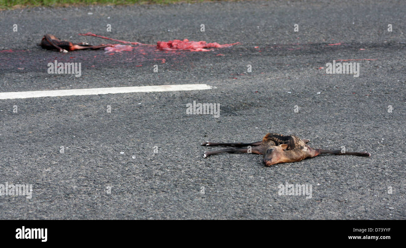 sad image of dead baby deer on the highway possibly still born