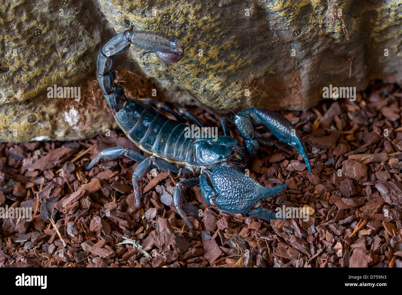 Indian Giant Forest Scorpion Stock Photo, Royalty Free ... - photo#46