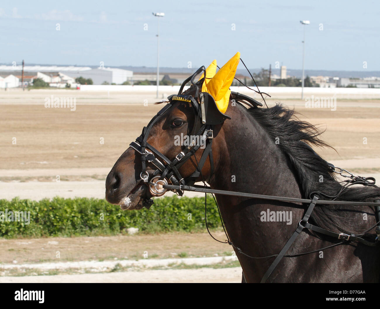 A horse wearing ear plugs is seen during harness