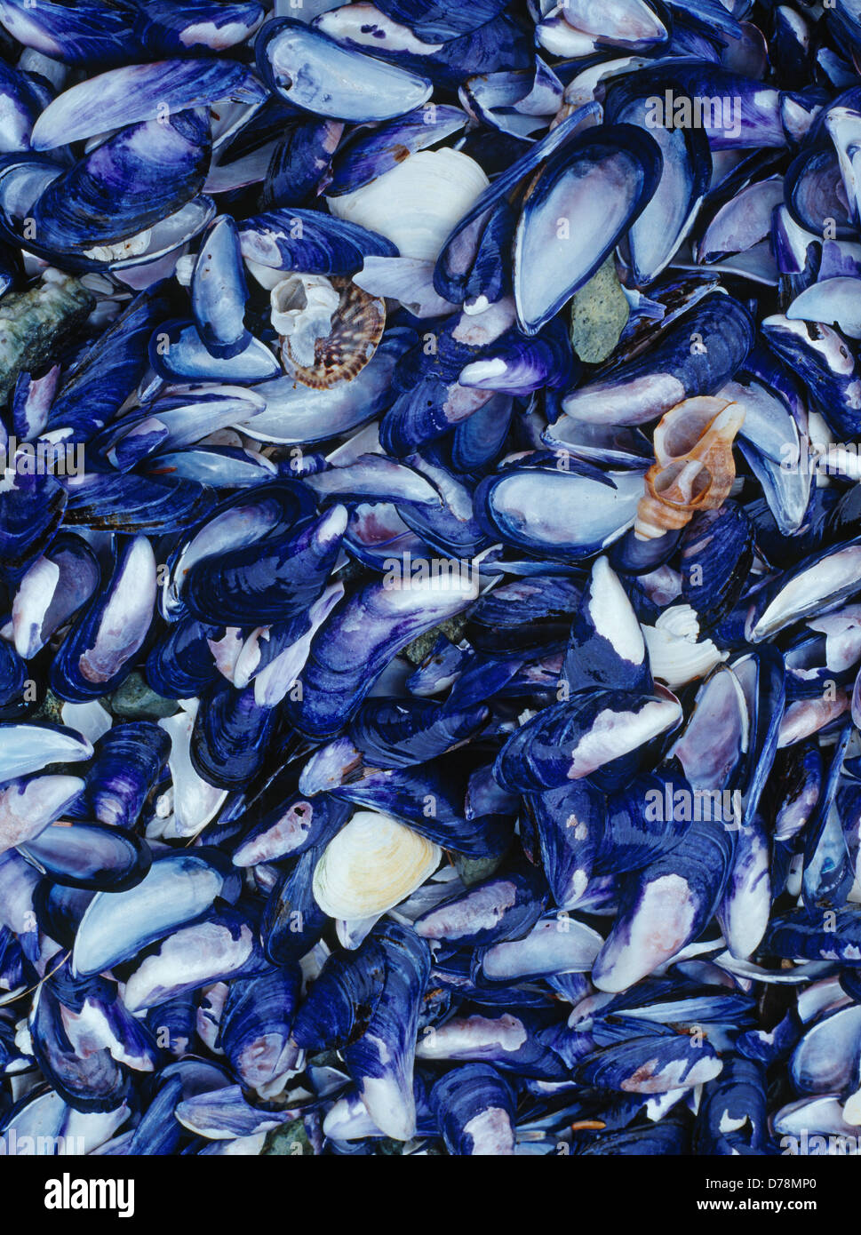 mussels assorted seashells washed on south island stephens